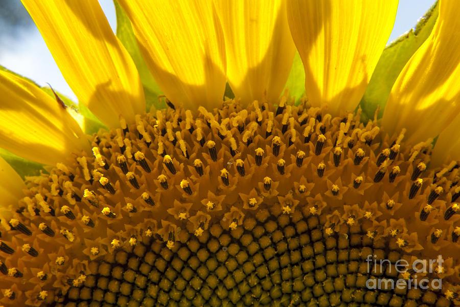 Sunflower Photograph - Sunflower Macro by Darleen Stry