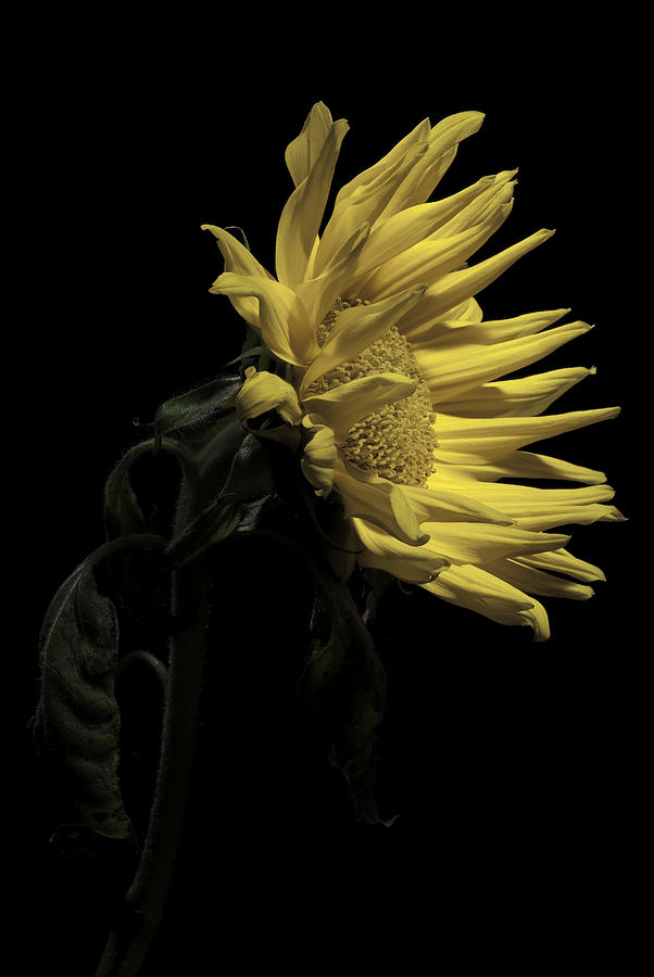 Flower Photograph - Sunflower by Nathaniel Kolby