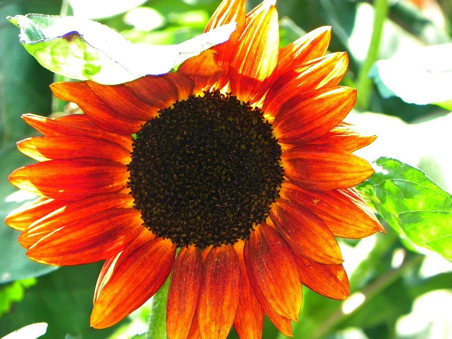 Flower Photograph - Sunflower by Rhiannon Hamm