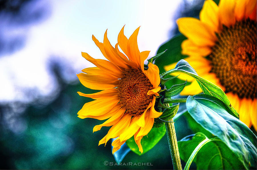 Community Garden Photograph - Sunflower Smile by Sarai Rachel