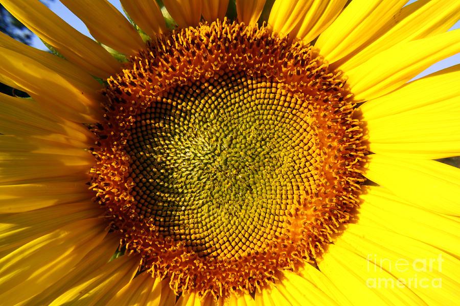 Sunflower Photograph - Sunflower Sunburst by Darleen Stry