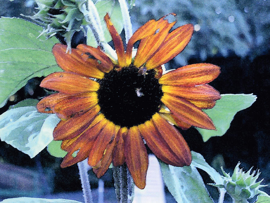 Botanical Photograph - Sunflower With Bee by Eunice Olson