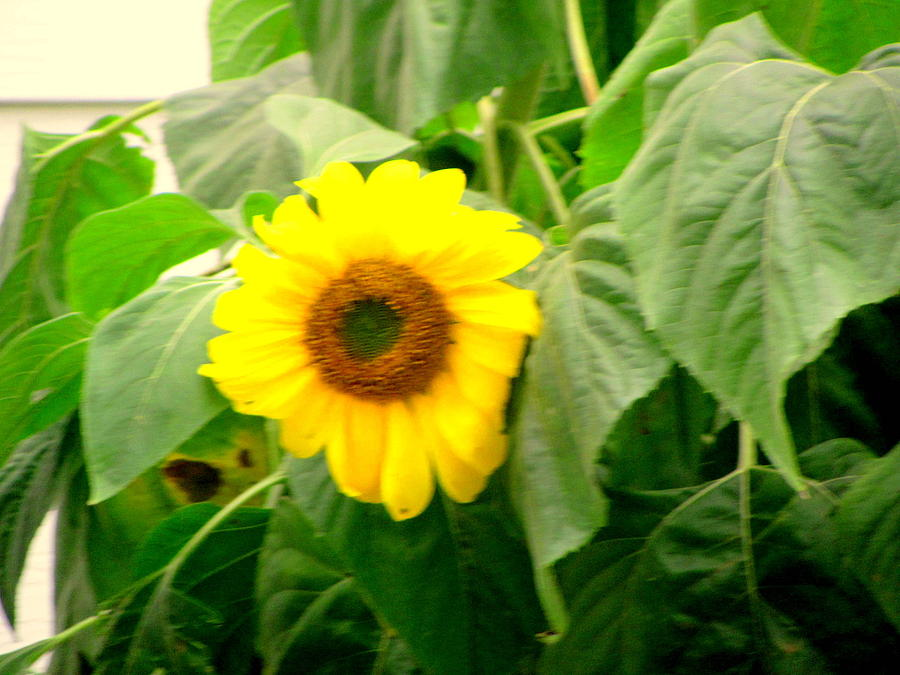 Photograph Photograph - Sunflower Within Leaves by Amy Bradley
