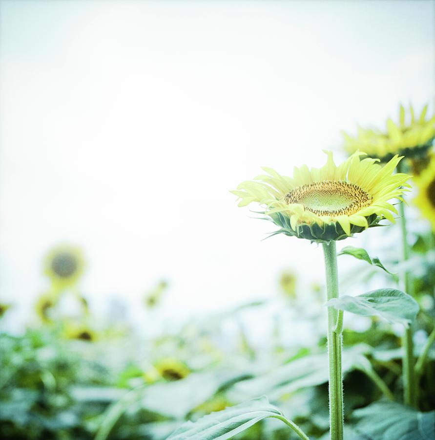 Vertical Photograph - Sunflower by Yoshika Sakai