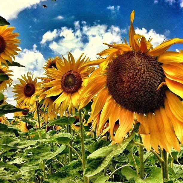 Summer Photograph - Sunflowerpower! by Urs Steiner