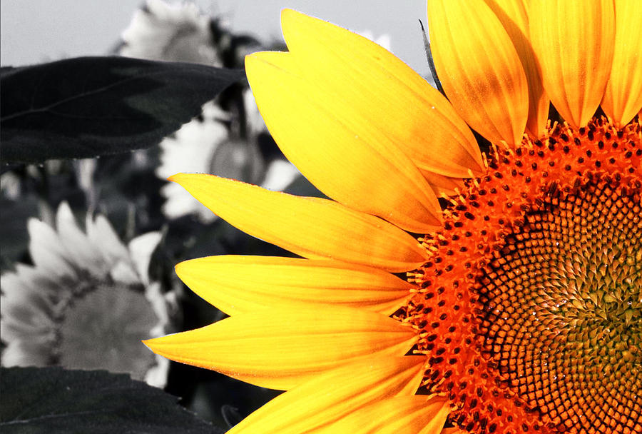 Abstract Photograph - Sunflowers 2 by Sumit Mehndiratta