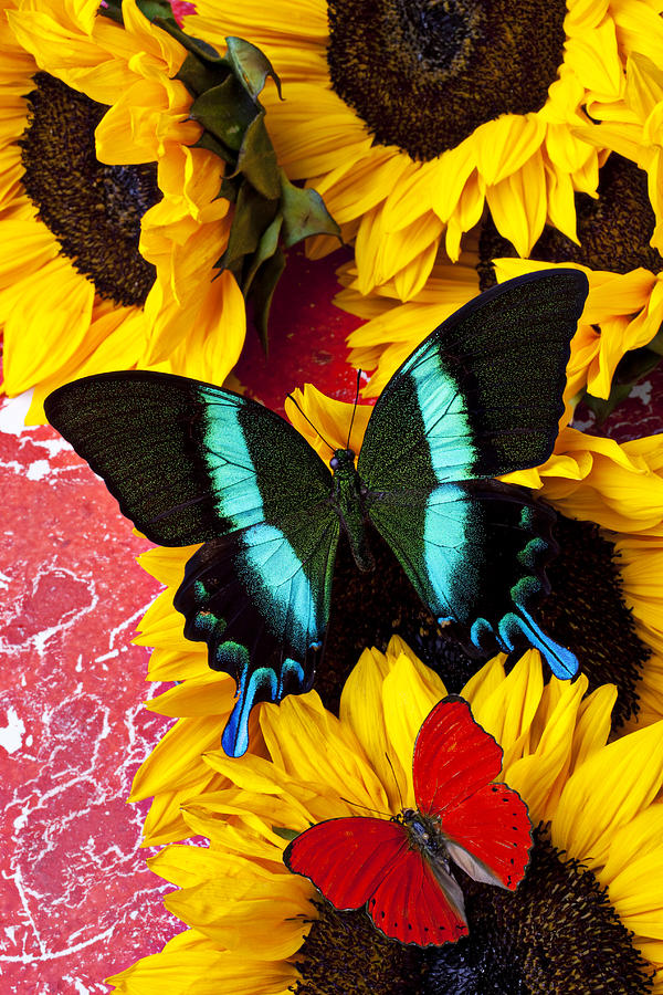 Sunflowers Photograph - Sunflowers And Butterflies by Garry Gay