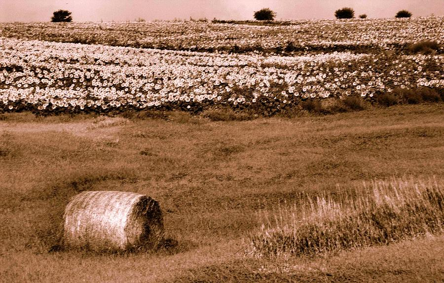 Hay Photograph - Sunflowers And Hay Bale In Sepia by Lynne and Don Wright