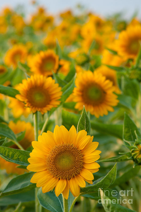Agriculture Photograph - Sunflowers by Atiketta Sangasaeng