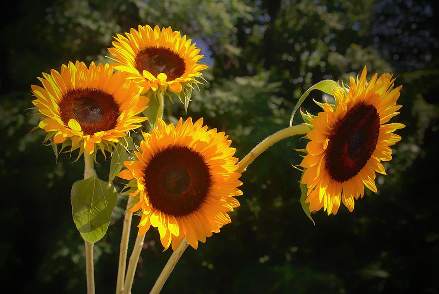 Sunflowers Photograph - Sunflowers by Boyd Alexander