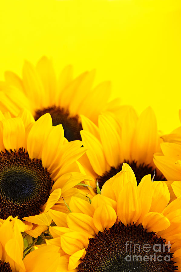 Sunflowers Photograph - Sunflowers by Elena Elisseeva