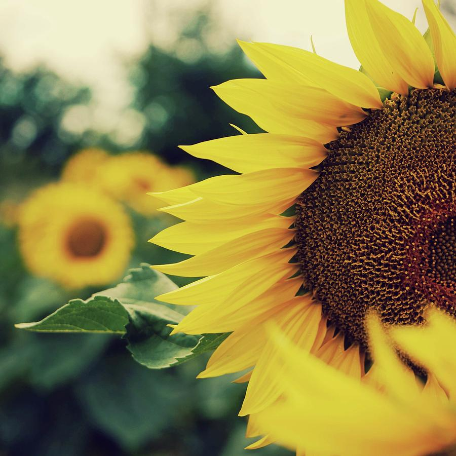 Square Photograph - Sunflowers by Kirstin Mckee