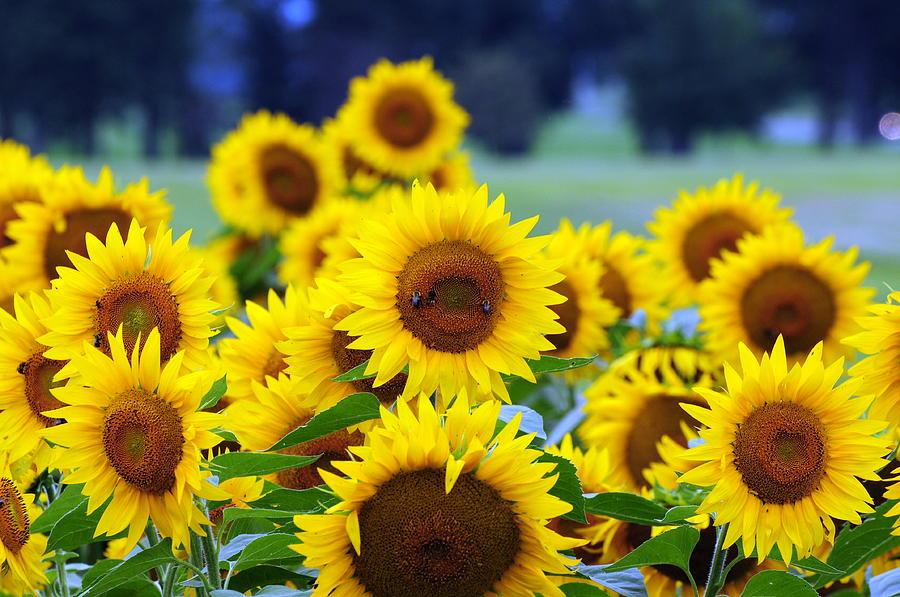 Sunflowers Photograph - Sunflowers by Paul Ward