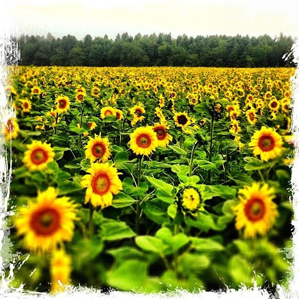Summer Photograph - Sunflowers! Pick One, If You Like by Urs Steiner