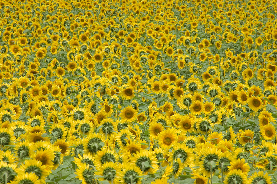 Buttonwood Farm Photograph - Sunflowers by Ron Smith