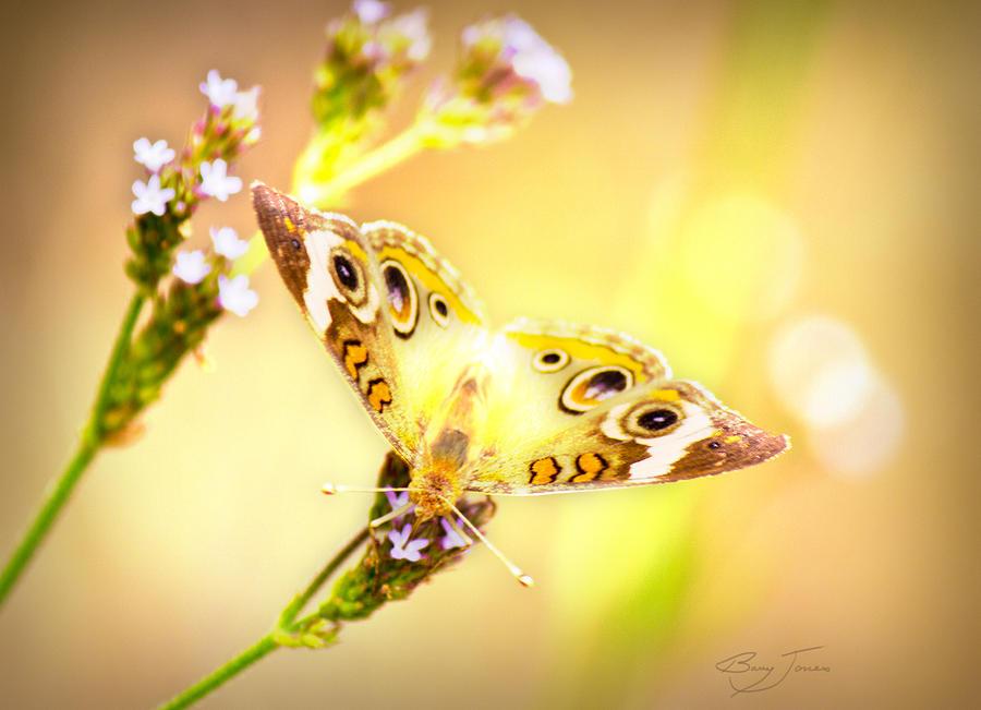 Buckeye Butterfly Photograph - Sunlit Beauty by Barry Jones