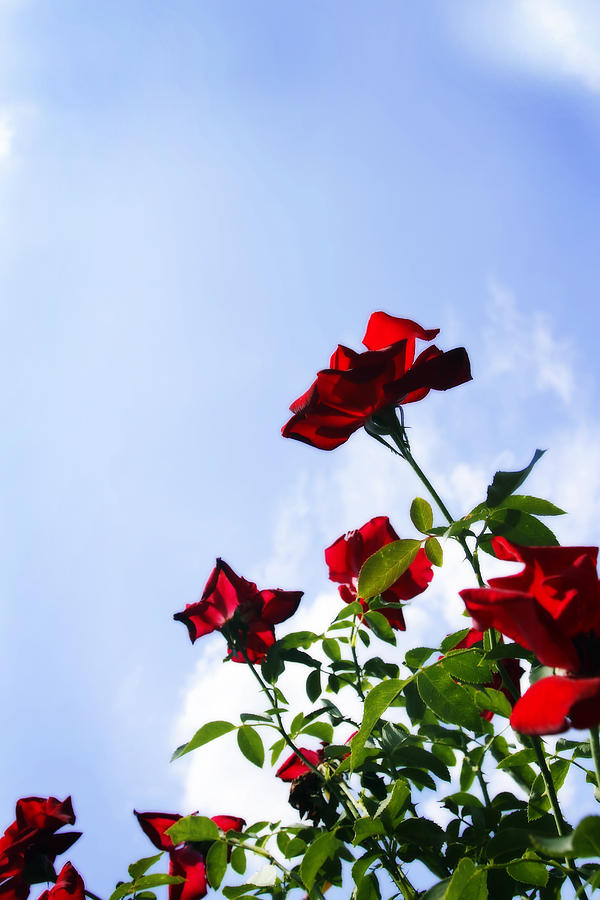 Photo Photograph - Sunlit Roses by Alan Hausenflock