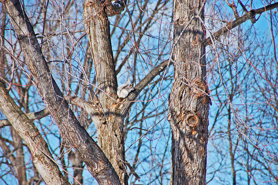 Squirrel Photograph - Sunning In The Tree by Aimee L Maher Photography and Art Visit ALMGallerydotcom