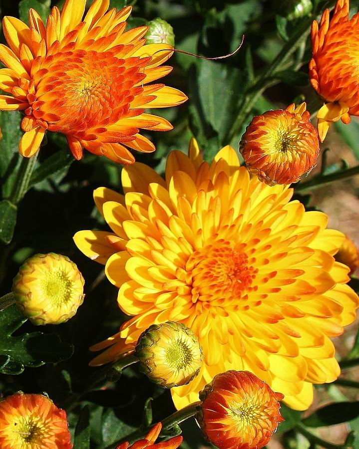 Flora Photograph - Sunning Mums by Bruce Bley