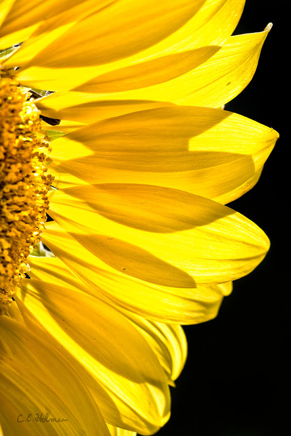 Flower Photograph - Sunny Glow by Christopher Holmes