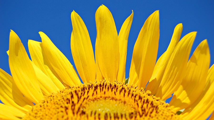 Sunflower Photograph - Sunny Skies by Amy Schauland