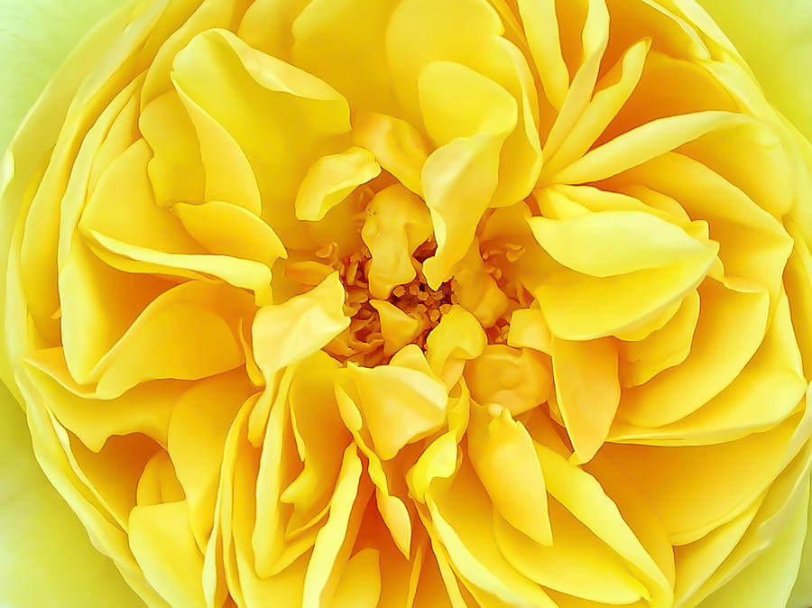Sunny yellow rose with petals and stamens macro flower photography macro photograph sunny yellow rose with petals and stamens macro flower photography by chantal mightylinksfo