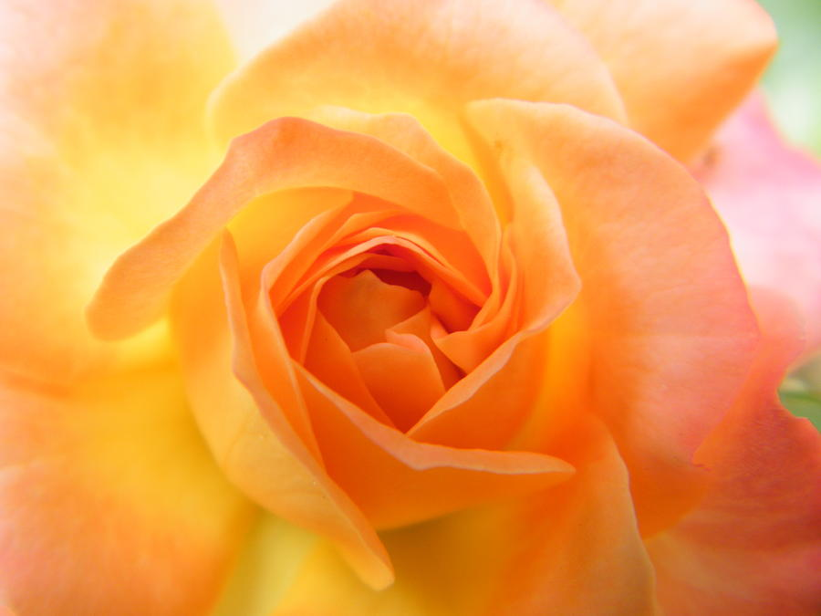 Roses Photograph - Sunrise Opens A Fiery Mini Rose by Mary Sedivy