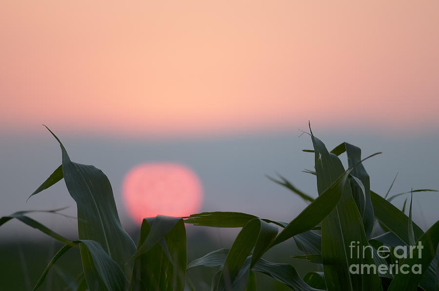 Prairie Sunset Photograph - Sunset And Corn by Art Whitton