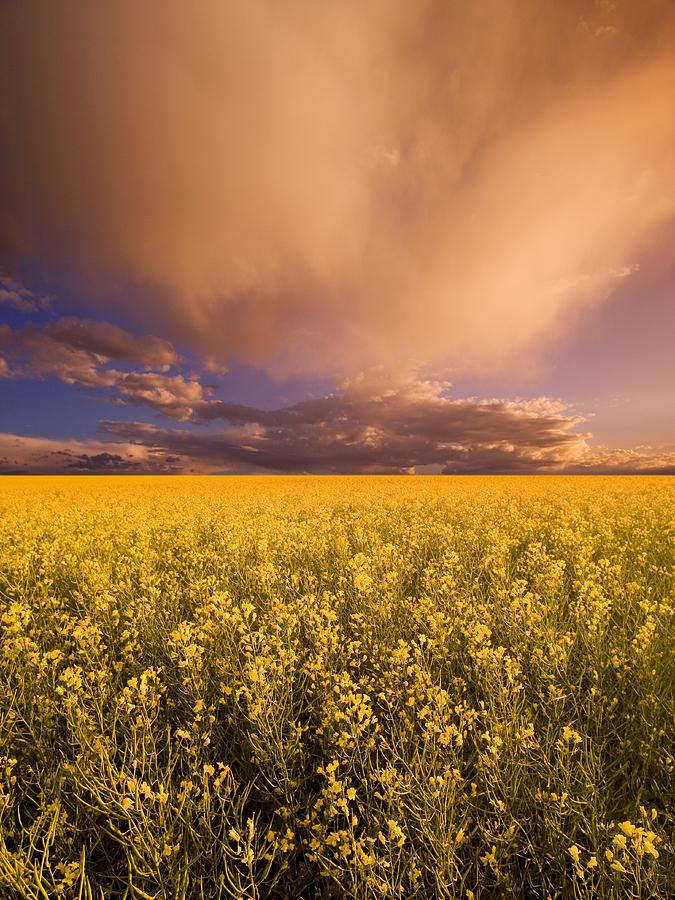 Alberta Photograph - Sunset On A Canola Field by Darren Greenwood