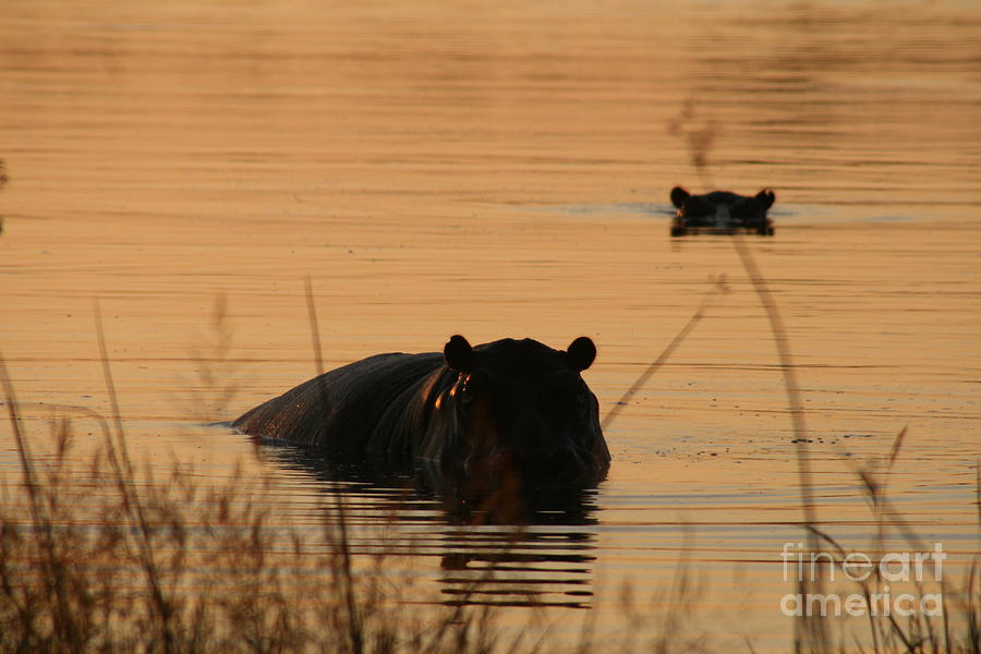 Hippo Photograph - Sunset Viewer by Carol Wright