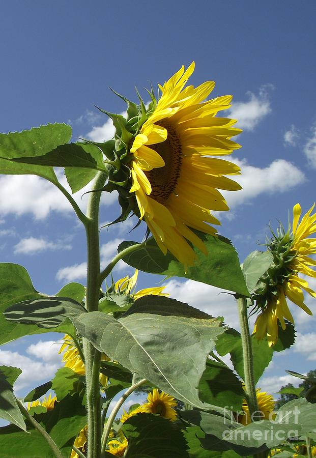 Sunflowers Photograph - Sunshine Flowers by Michelle Welles