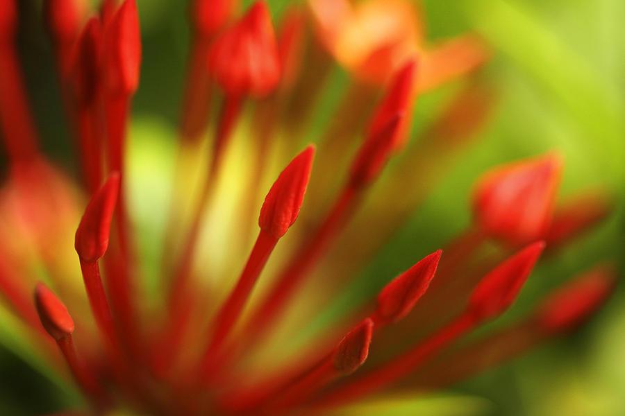 Maui Photograph - Super King Ixora  by Marilyn Hunt