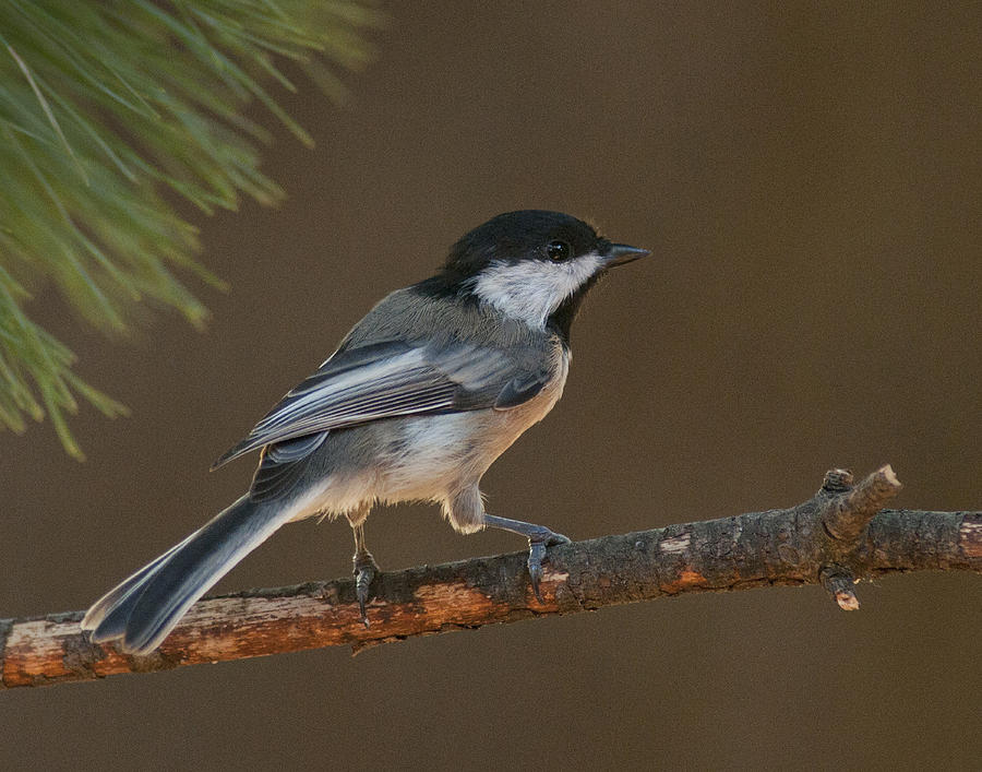 Black-capped Chickadee Photograph - Surveying The Forest by Don Wolf