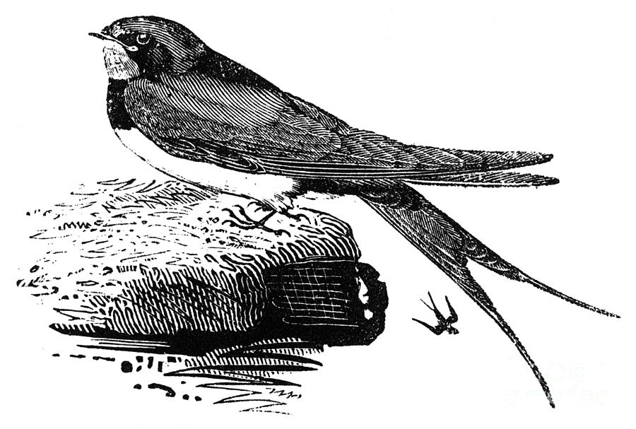 1800 Photograph - Swallow, C1800 by Granger