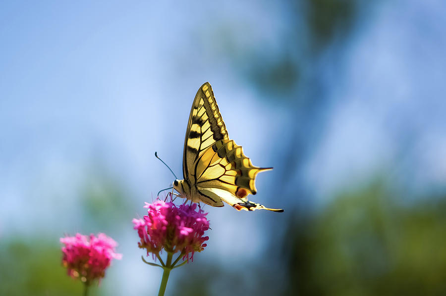 Horizontal Photograph - Swallowtail Butterfly On Pink Flower by Alexandre Fundone