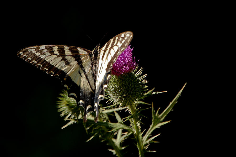Butterfly Photograph - Swallowtail by Lisa Kane
