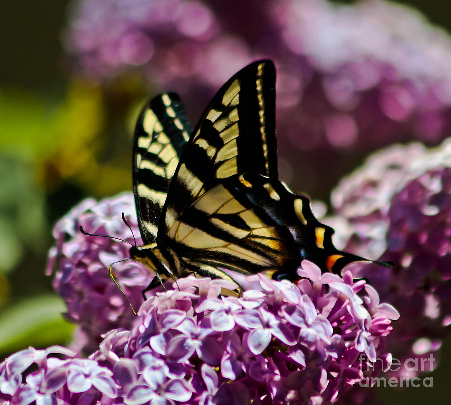 Butterfly Photograph - Swallowtail On Lilac 2 by Mitch Shindelbower