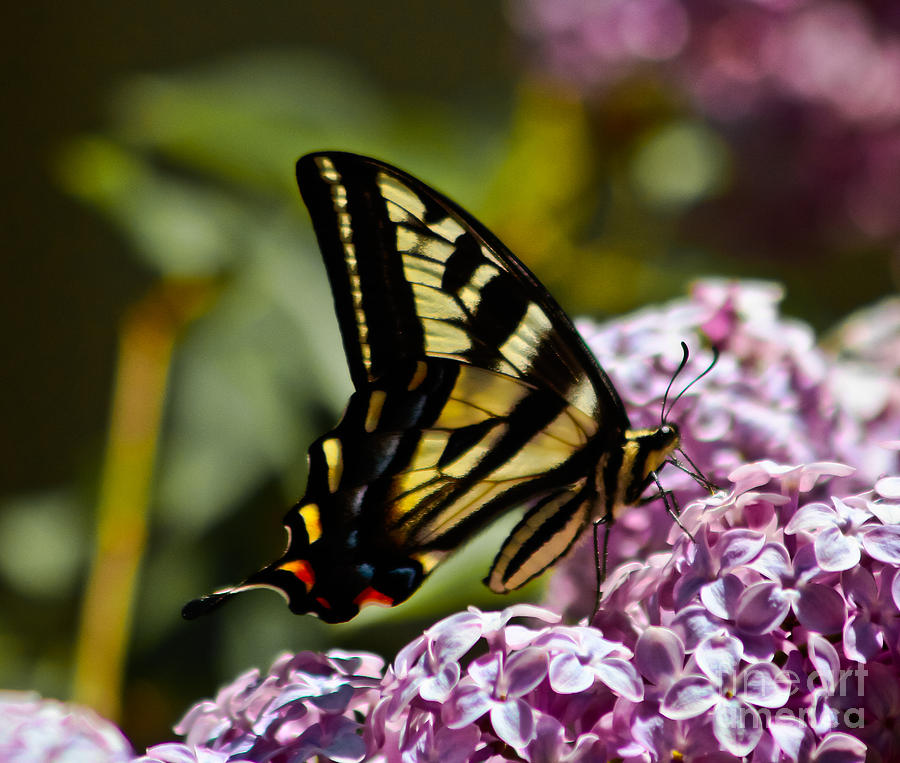 Swallowtail On Lilac Photograph - Swallowtail On Lilac by Mitch Shindelbower