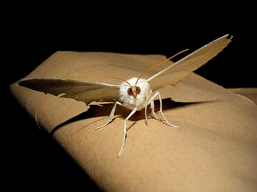 Swallow Photograph - Swallowtailed Moth by Lorainek Photographs