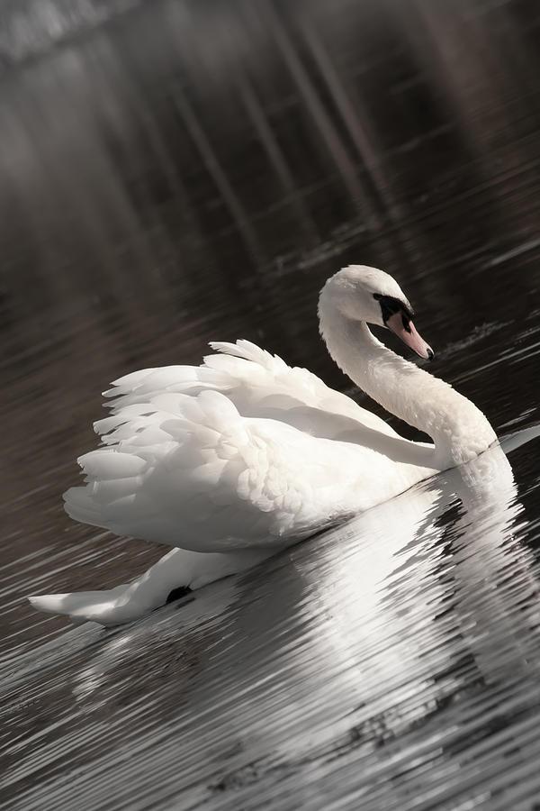 Swan Photograph - Swan 2 by Nan Schefcick