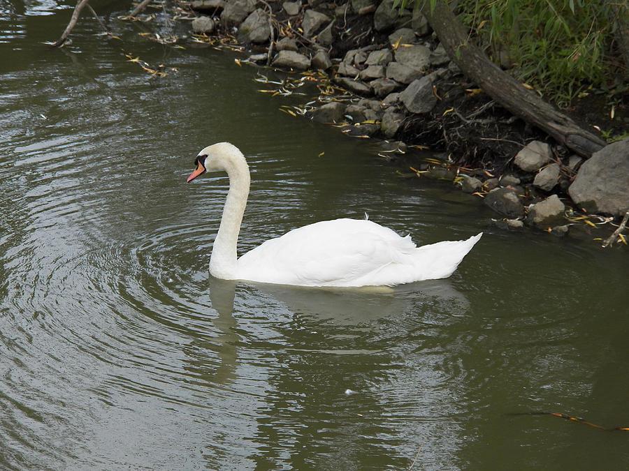 Swan Photograph - Swan Along The Shoreline by Corinne Elizabeth Cowherd