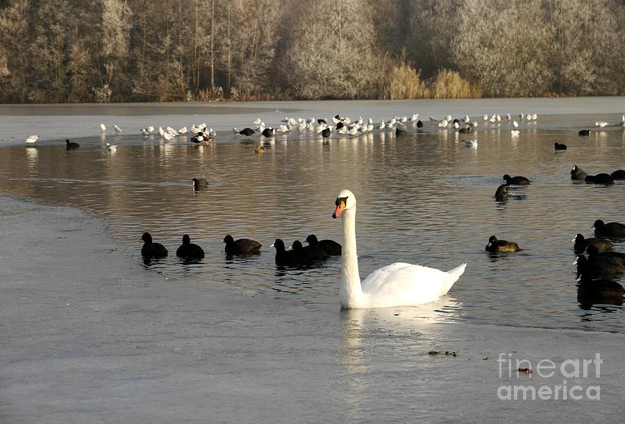 Swan Photograph - Swan And Ice by John Chatterley