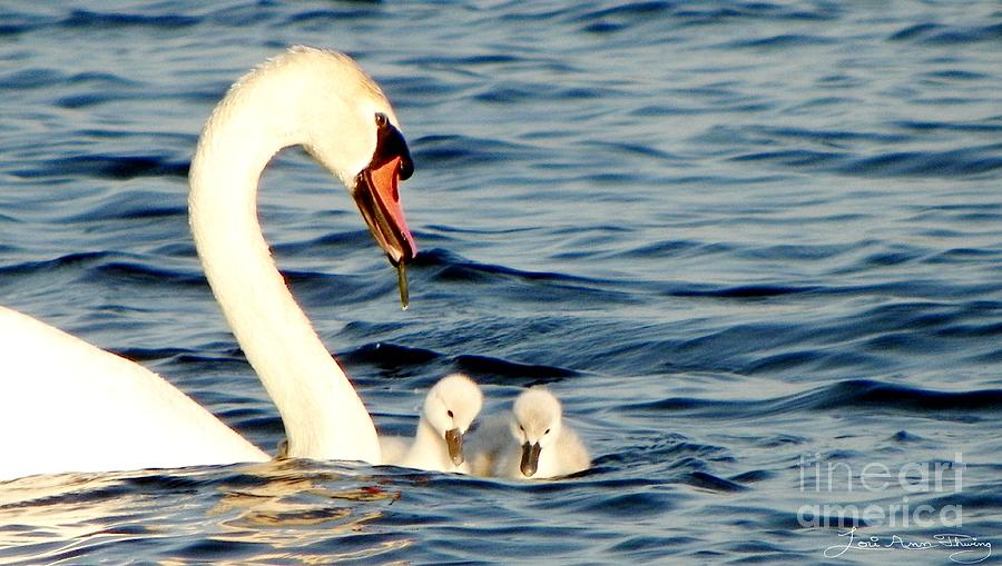 Swans Digital Art - Swan And Signets On Wall Lake  by Lori Ann  Thwing