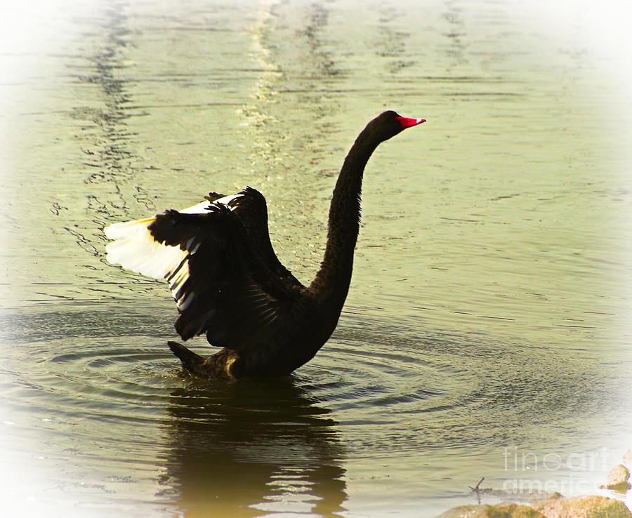 Australia Photograph - Swan Dance 3 by Blair Stuart