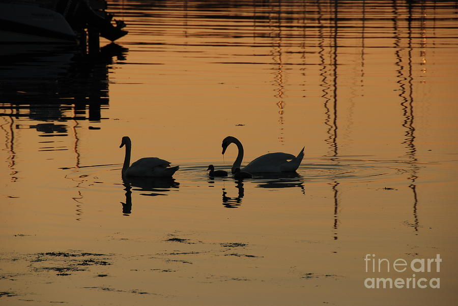 Swans Photograph - Swan Family At Sunset by Camilla Brattemark