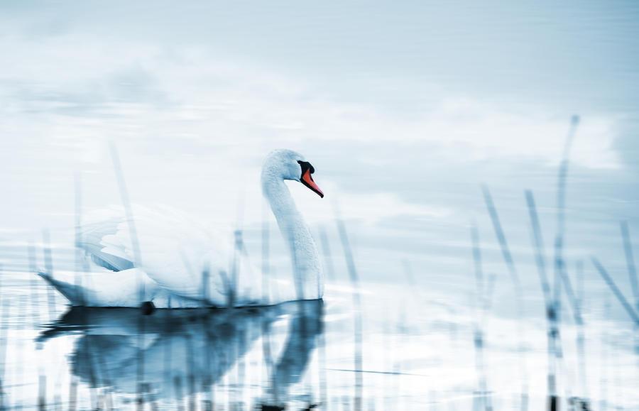 Animal Photograph - Swan by Jaroslaw Grudzinski