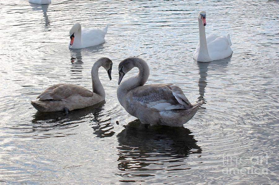 Swans Photograph - Swan Love by Marsha Thornton