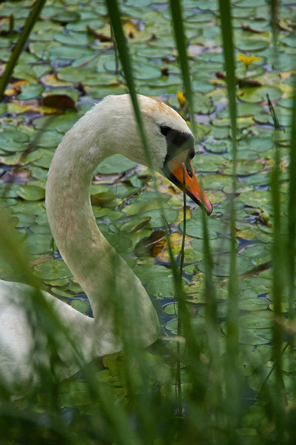 Swan Photograph - Swan Naturally by Odd Jeppesen