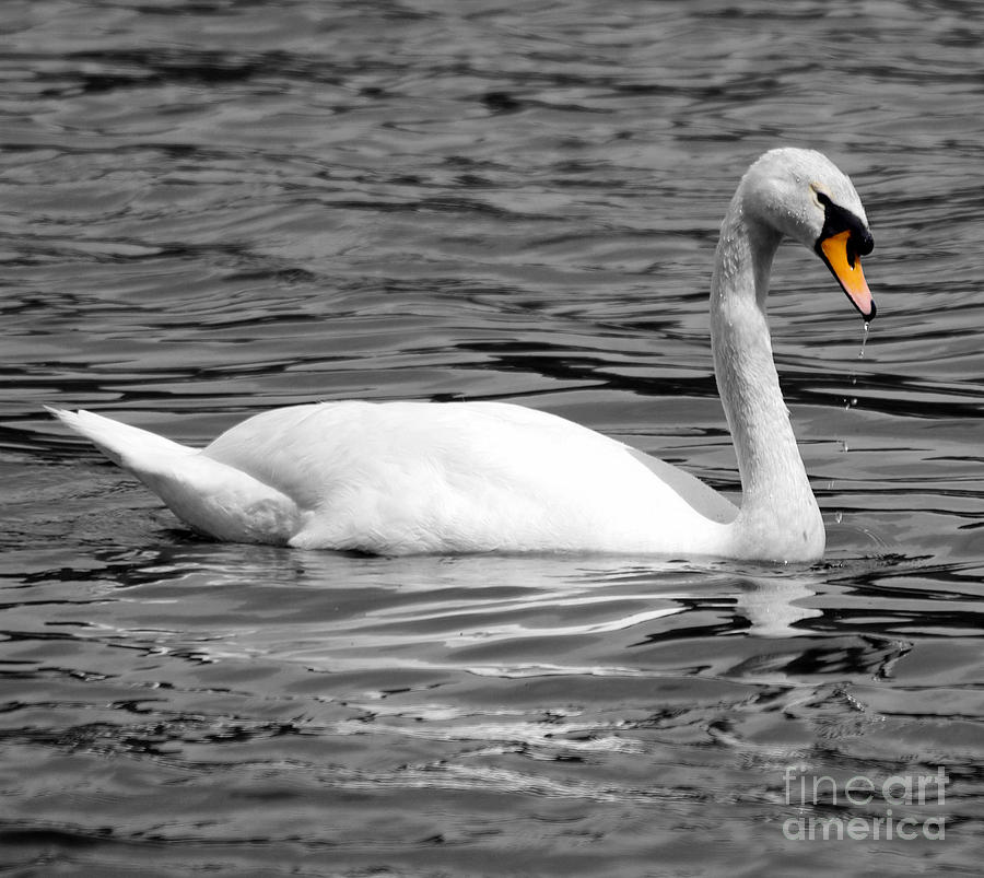 Swan On Loch Erne. Photograph by Stephen McLean