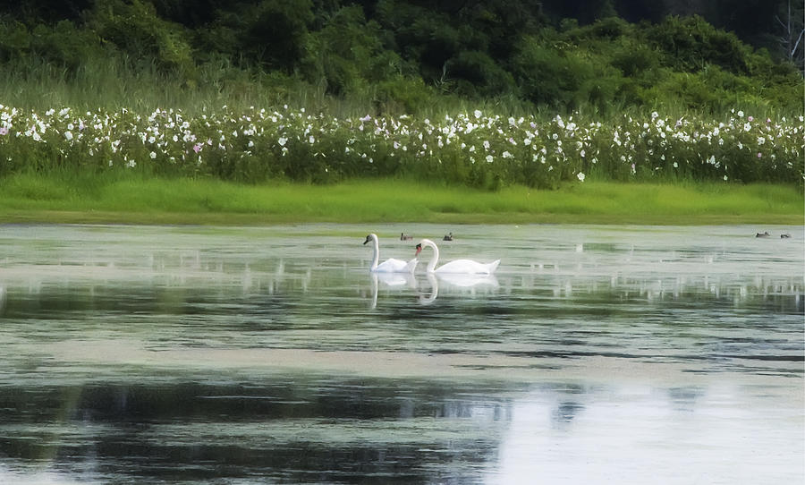 Swan Pond Photograph - Swan Pond by Bill Cannon